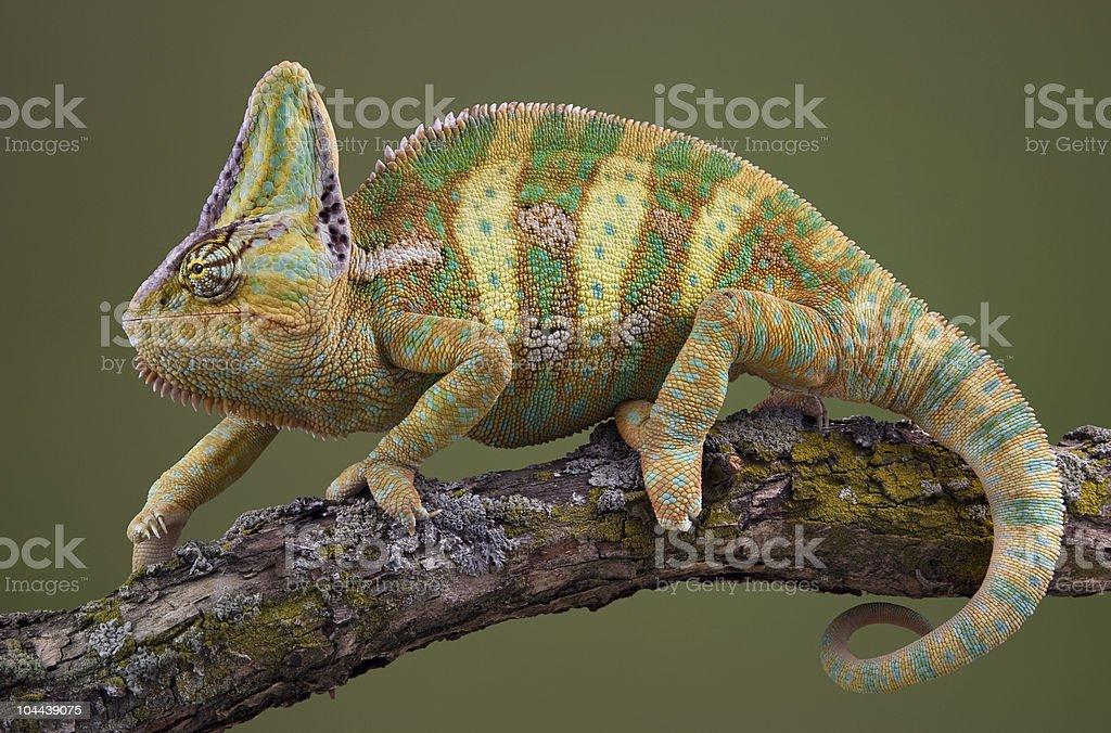 Walking Chameleon stock photo