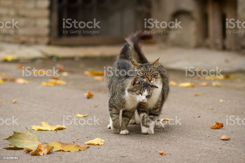 Walking couple of two loving cats stock photo