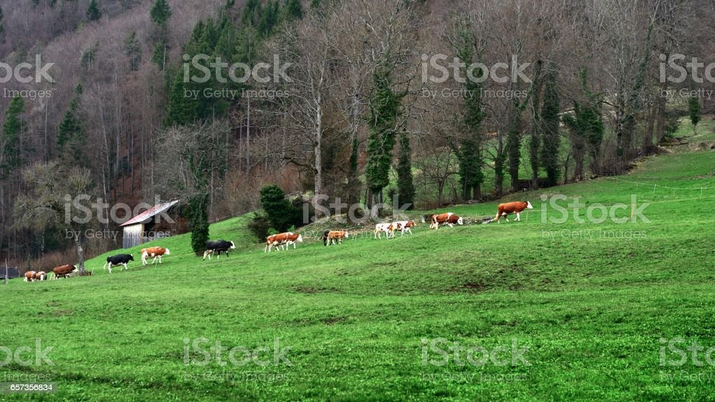 Walking cows in the pasture stock photo