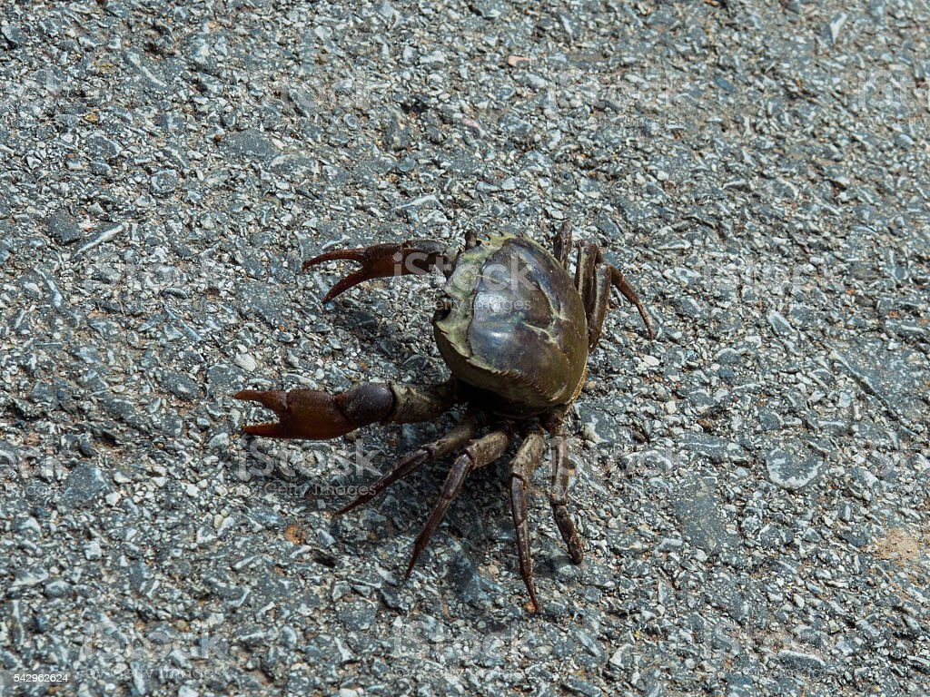 Walking crab stock photo