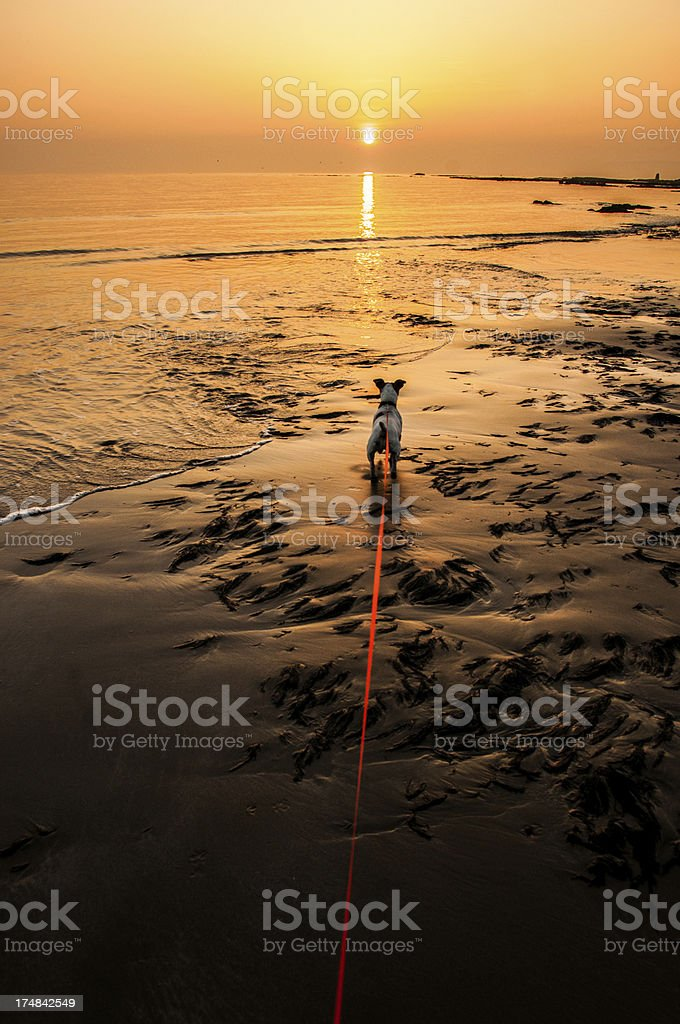 Walking dog at the beach during sunset, Isle of Wight royalty-free stock photo