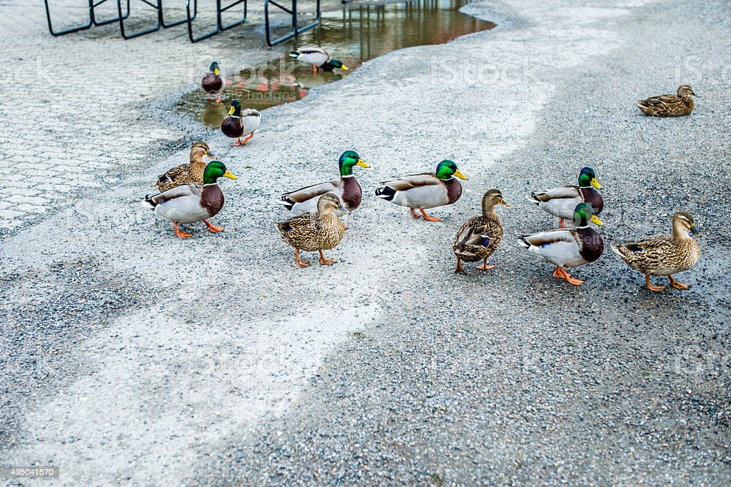 Walking ducks or mallards stock photo
