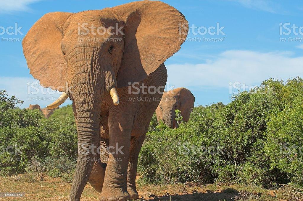 Walking Elephant stock photo