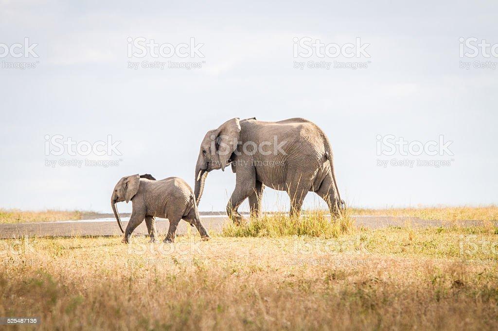 Walking Elephants in the Sabi Sands. stock photo