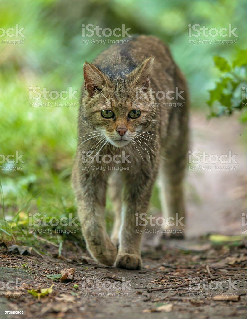 Walking European Wildcat stock photo