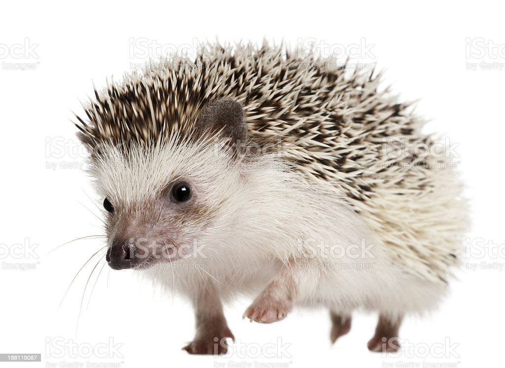 Walking Four-toed Hedgehog, Atelerix albiventris, 2 years old stock photo