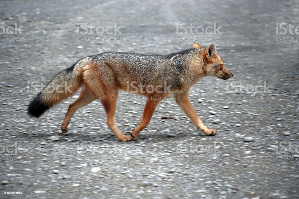 Walking Fox stock photo