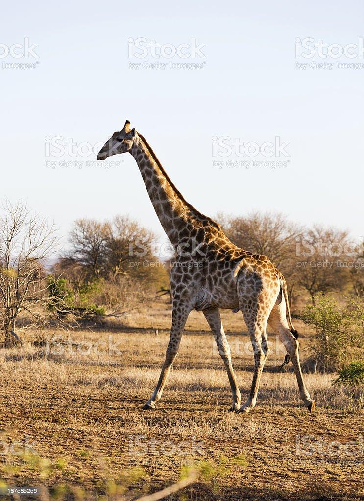 Walking giraffe in Kruger National Park showing rocking gait royalty-free stock photo