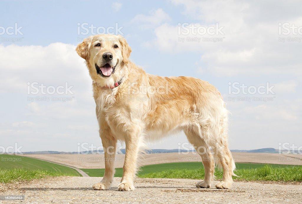 Walking Golden Retriever royalty-free stock photo