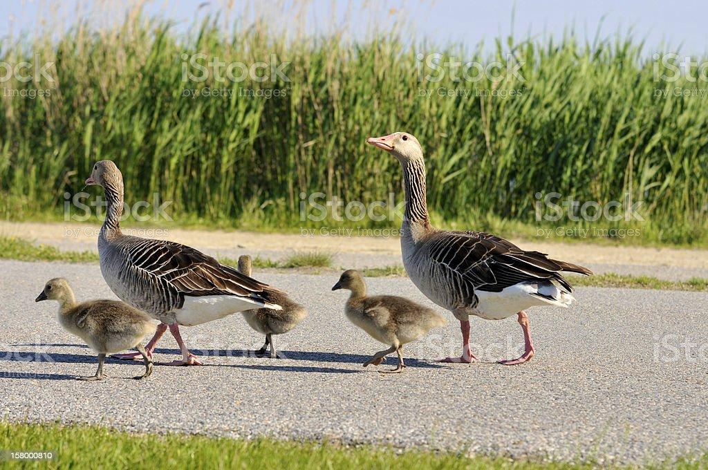 walking grey geese stock photo