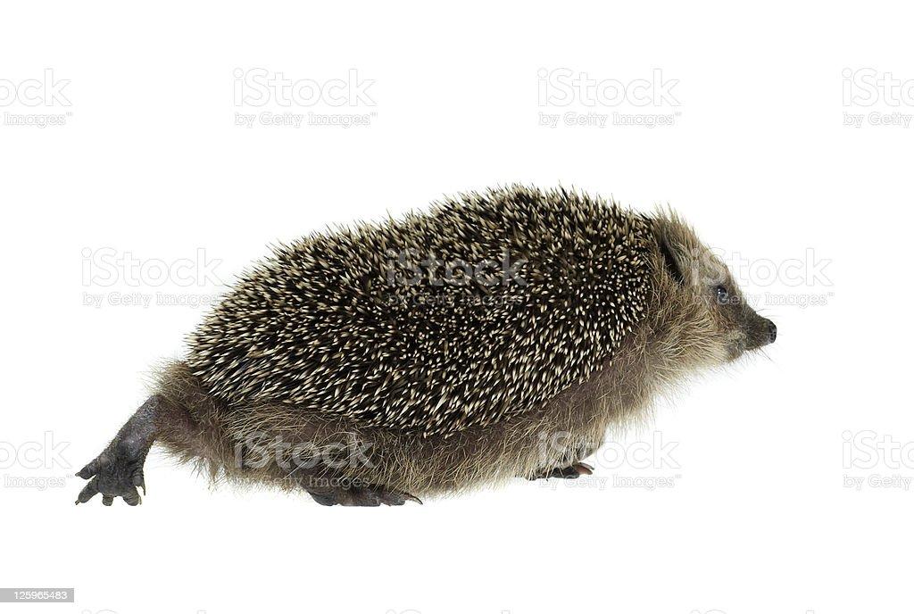 walking hedgehog in white back stock photo