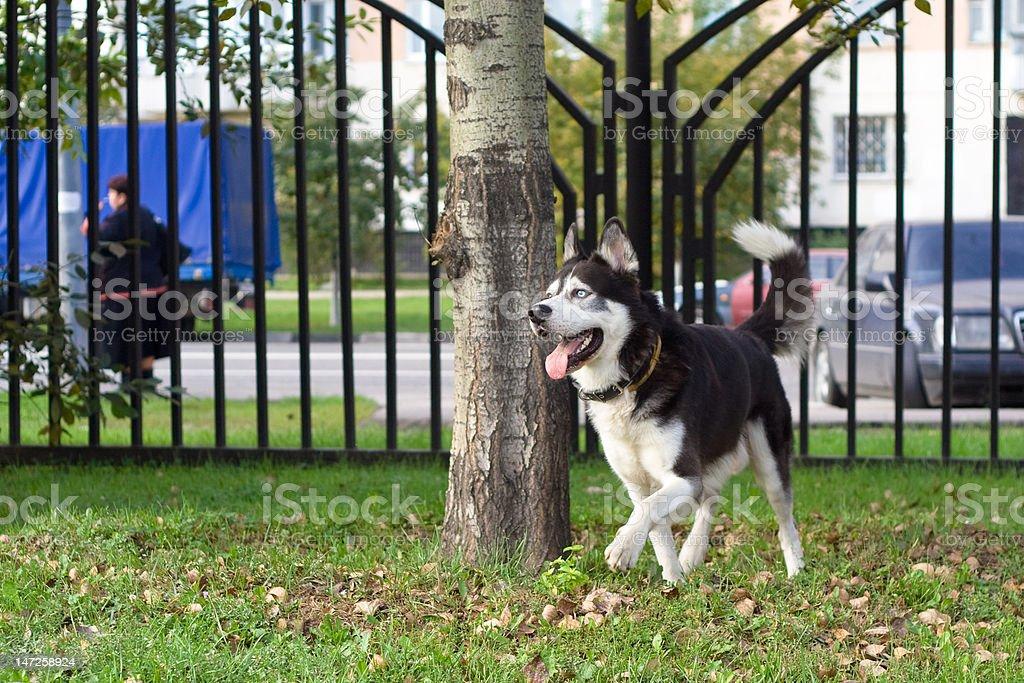 Walking husky royalty-free stock photo