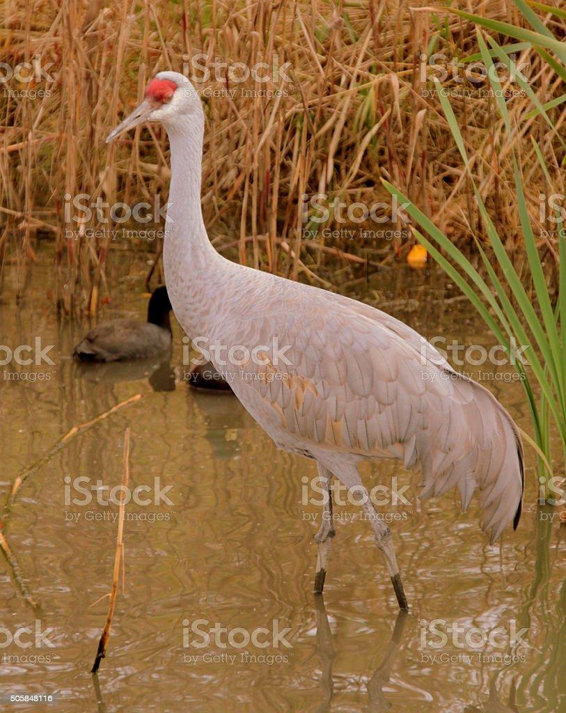 Walking in the wetland - Crane bird,Vancouver stock photo