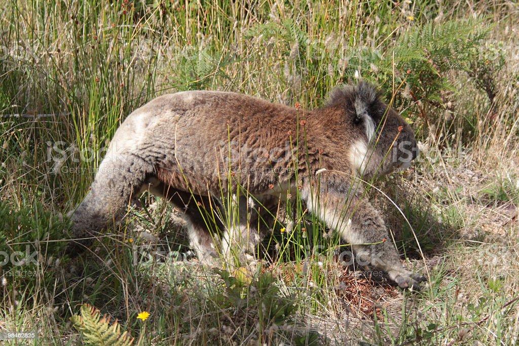 Walking koala royalty-free stock photo