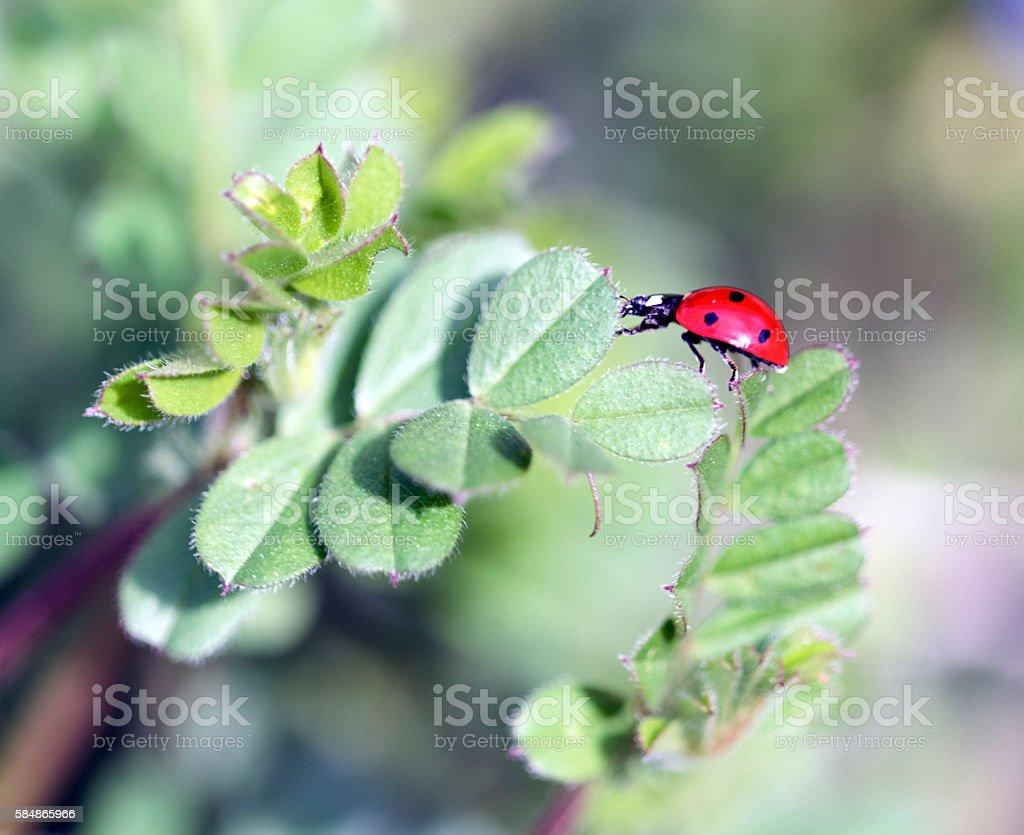Walking ladybug stock photo