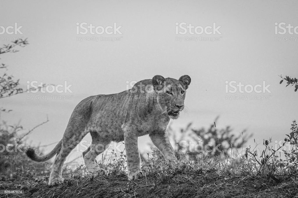 Walking Lion cub in black and white in the Mkuze Game stock photo