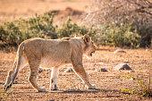 Walking Lion in the Kruger National Park, South Africa.
