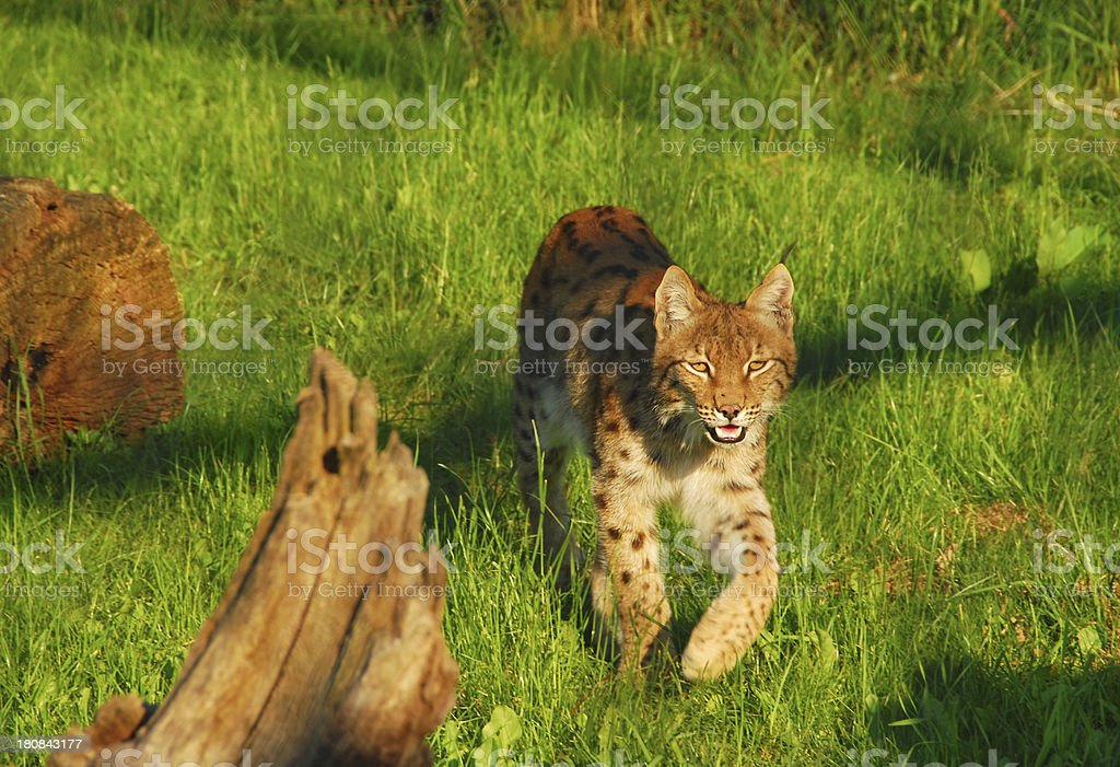 Walking Lynx royalty-free stock photo