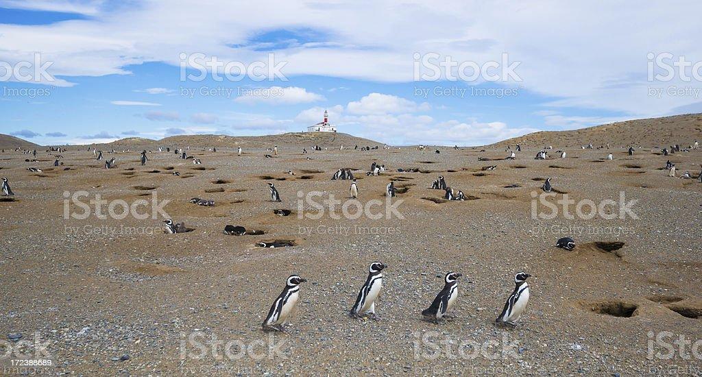 Walking Magellan ( Magellanic) Penguins stock photo