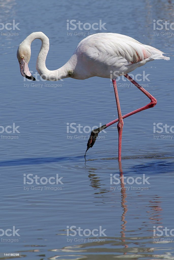 walking of flamingo royalty-free stock photo