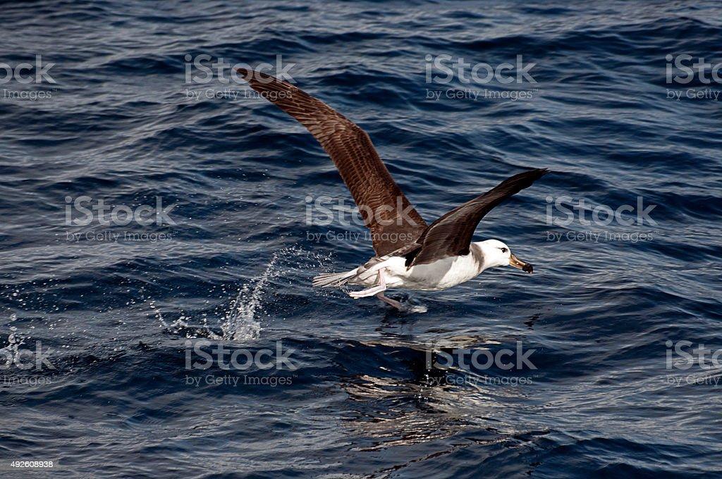 Walking on water - Albatross Takeoff stock photo