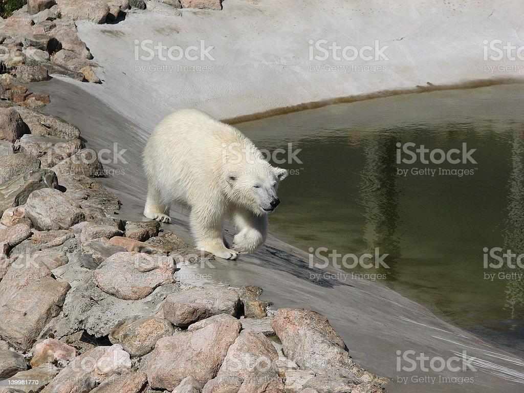 Walking polar bear royalty-free stock photo