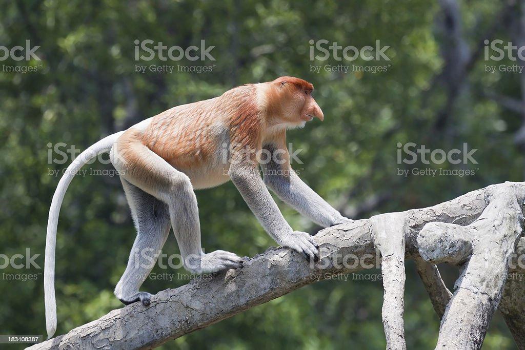 Walking proboscis monkey royalty-free stock photo