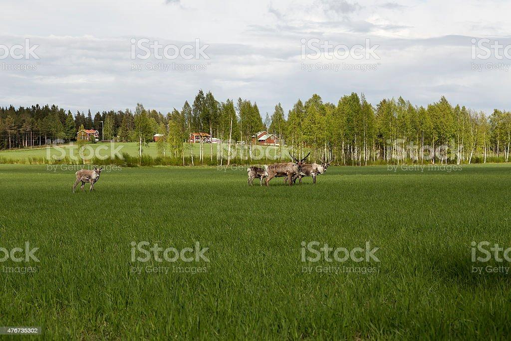 Walking reindeers royalty-free stock photo