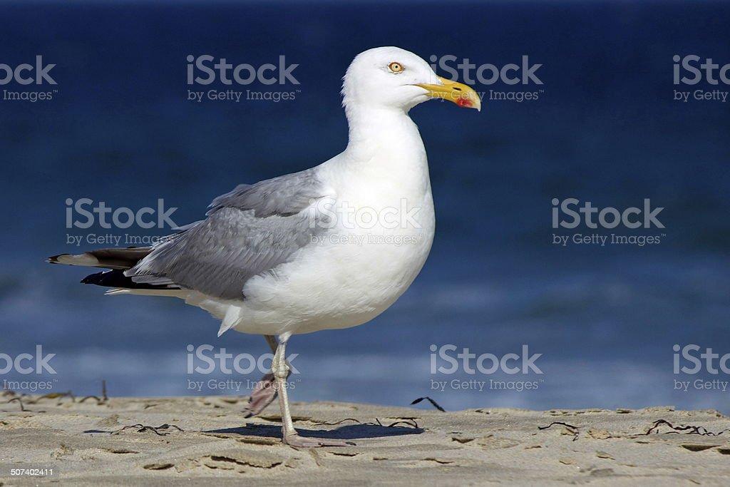 Walking Seagull stock photo