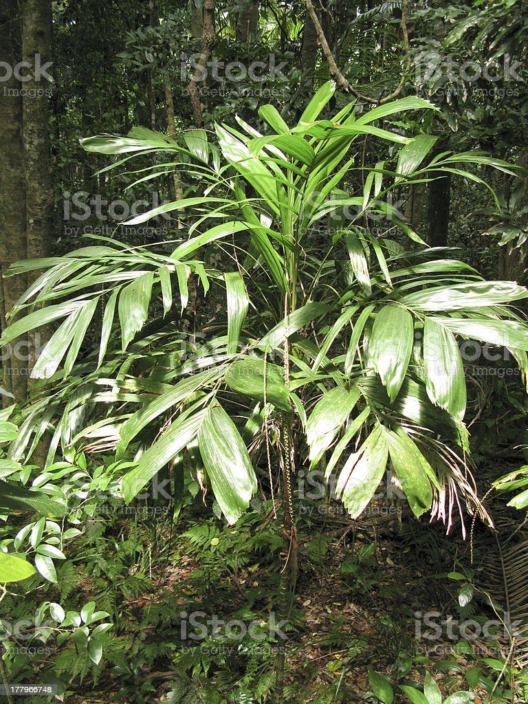 walking stick palm royalty-free stock photo