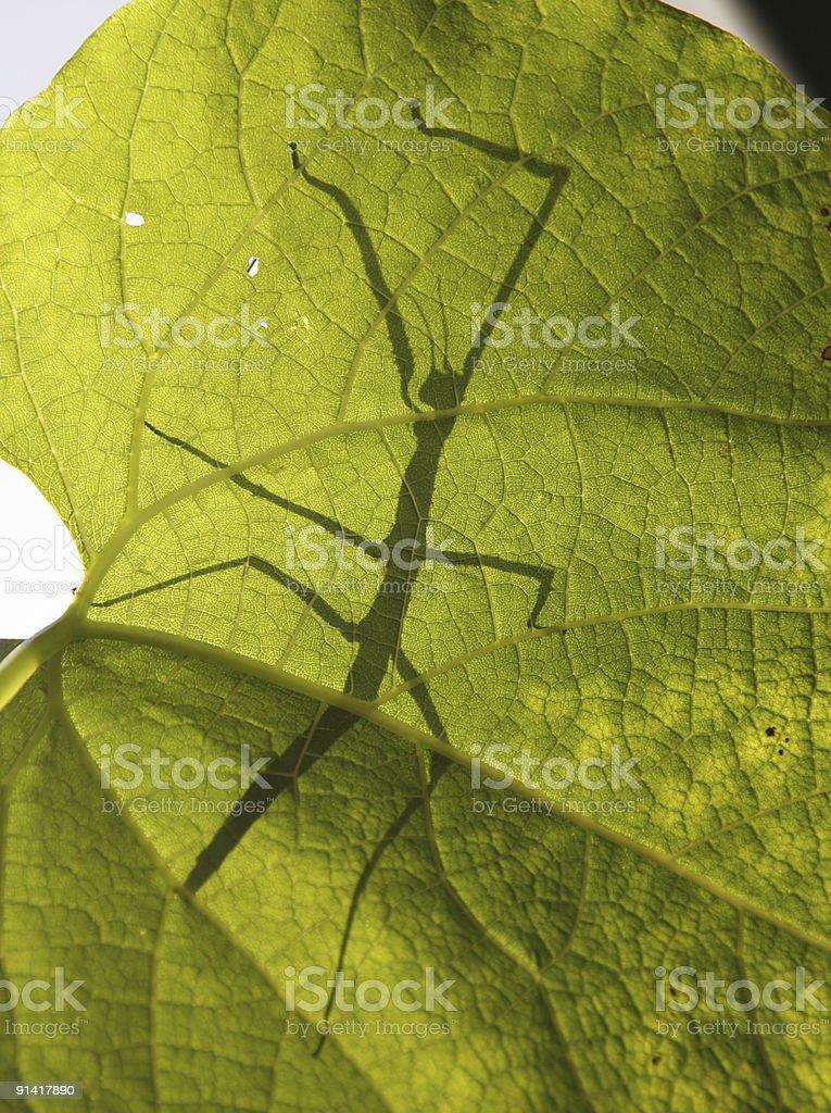 Walking stick sitting on a leaf stock photo