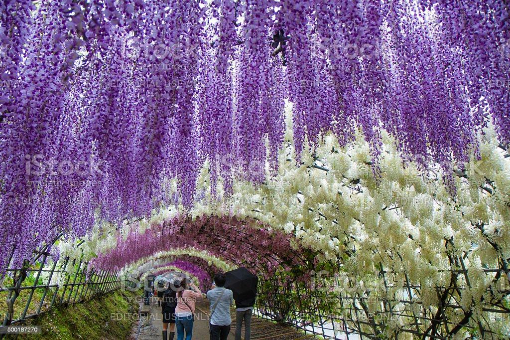 Walking the Kawachi Wisteria Garden Tunnels stock photo