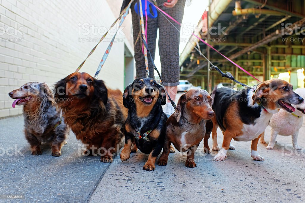 Walking the pack stock photo