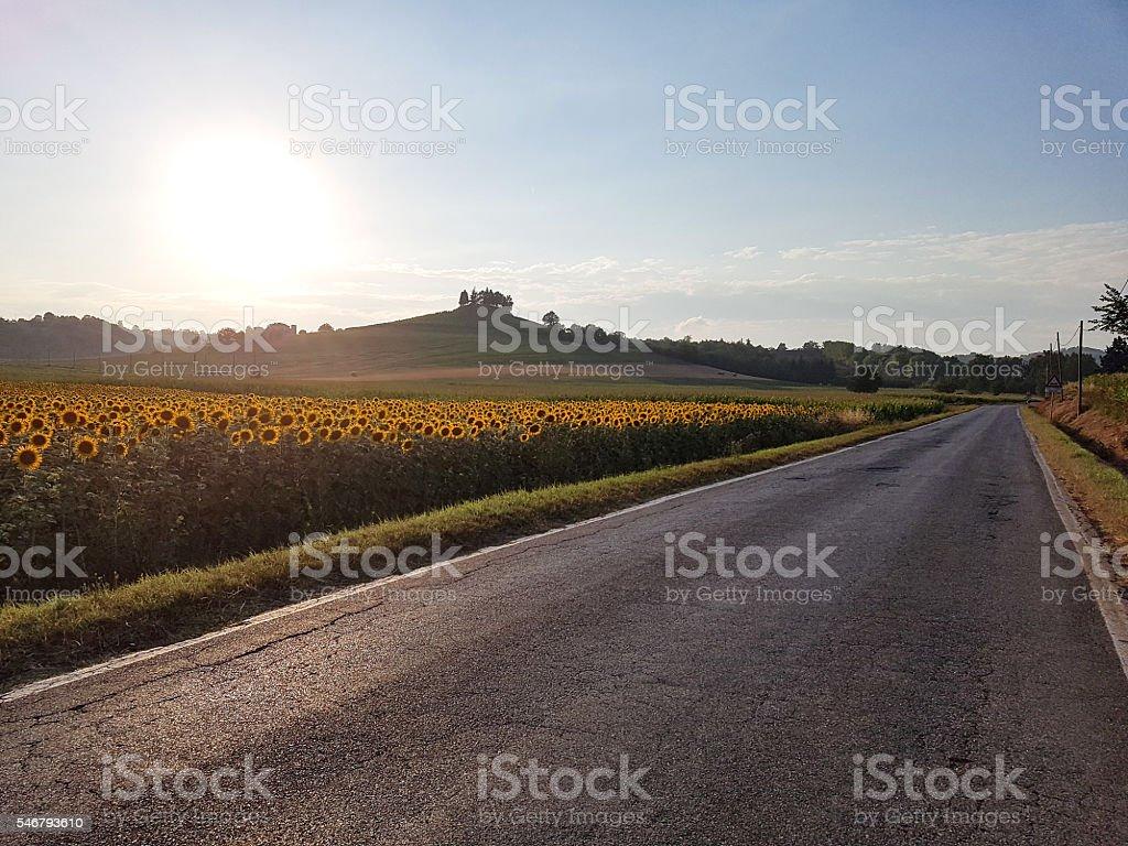 Walking through the sunflowers stock photo