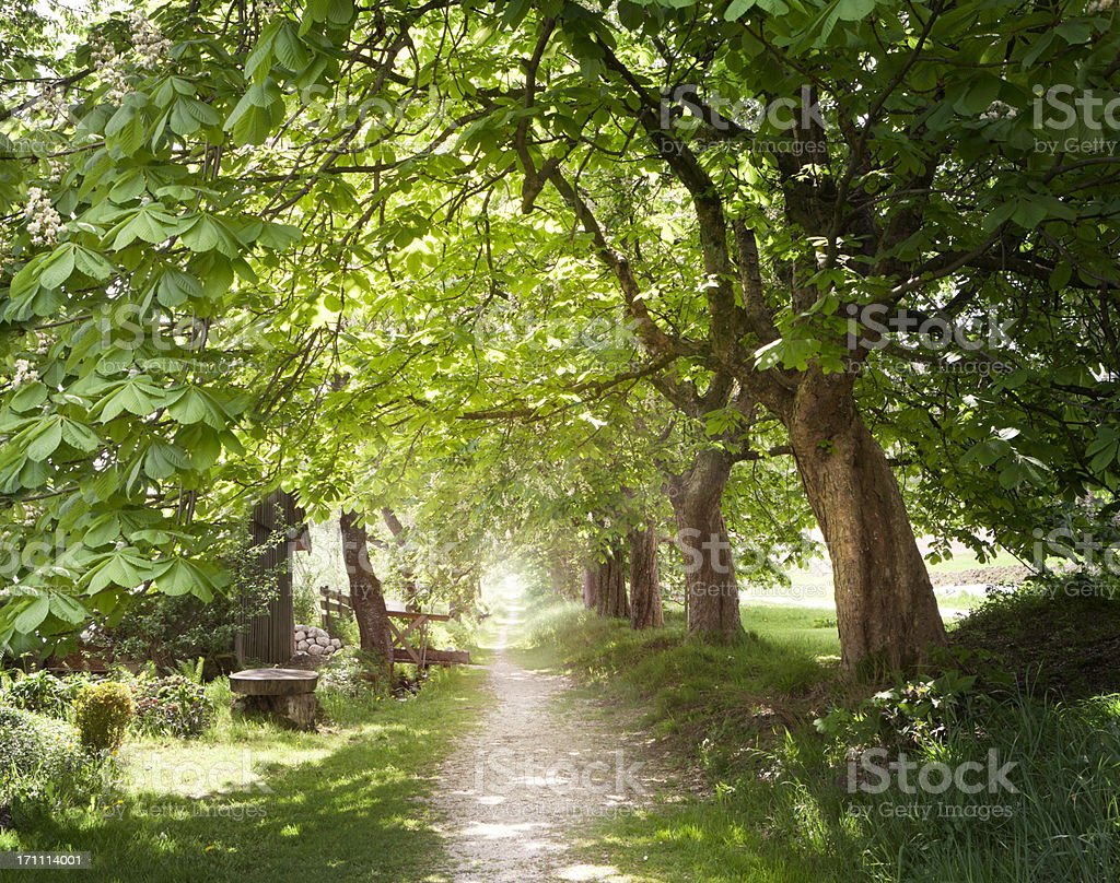 Walking under chestnut trees in springtime stock photo