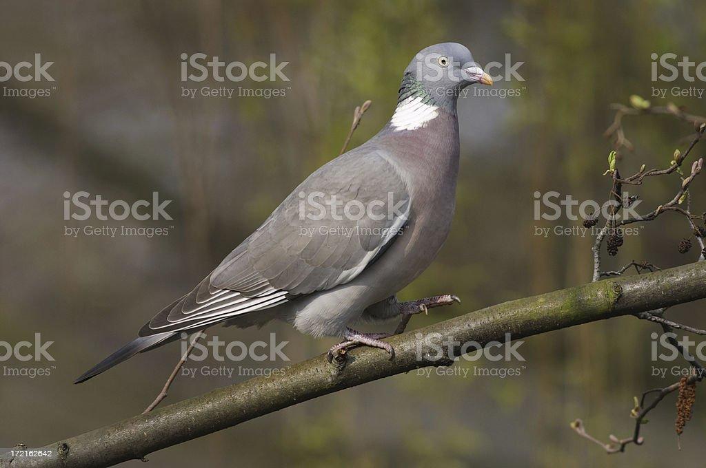 Walking wood pigeon Columba palumbus royalty-free stock photo