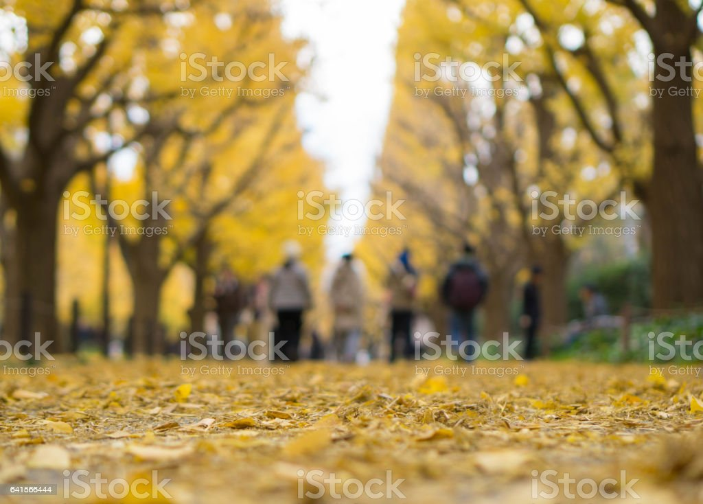 walkway covered with yellow ginkgo leaves, Autumn, Selective focus stock photo