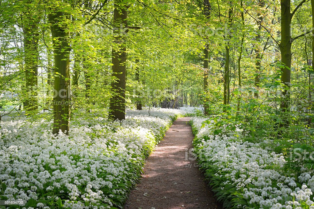 Walkway through a spring forest with white flowers stock photo