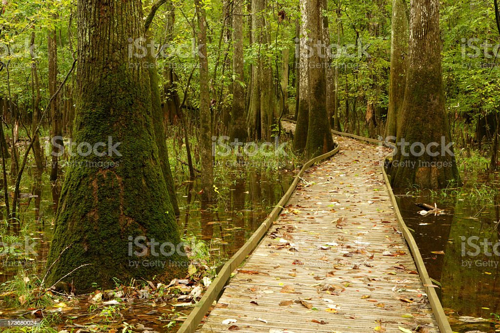 Walkway through a swamp with mossy trees royalty-free stock photo