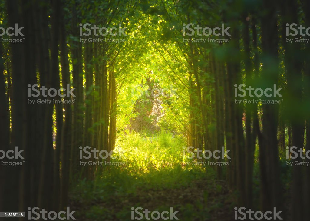 Walkway through tree tunnel at sunset. Colorful landscape with path, trees, plants, green foliage and yellow sunlight. Spring woods. Nature background with forest. Grove stock photo