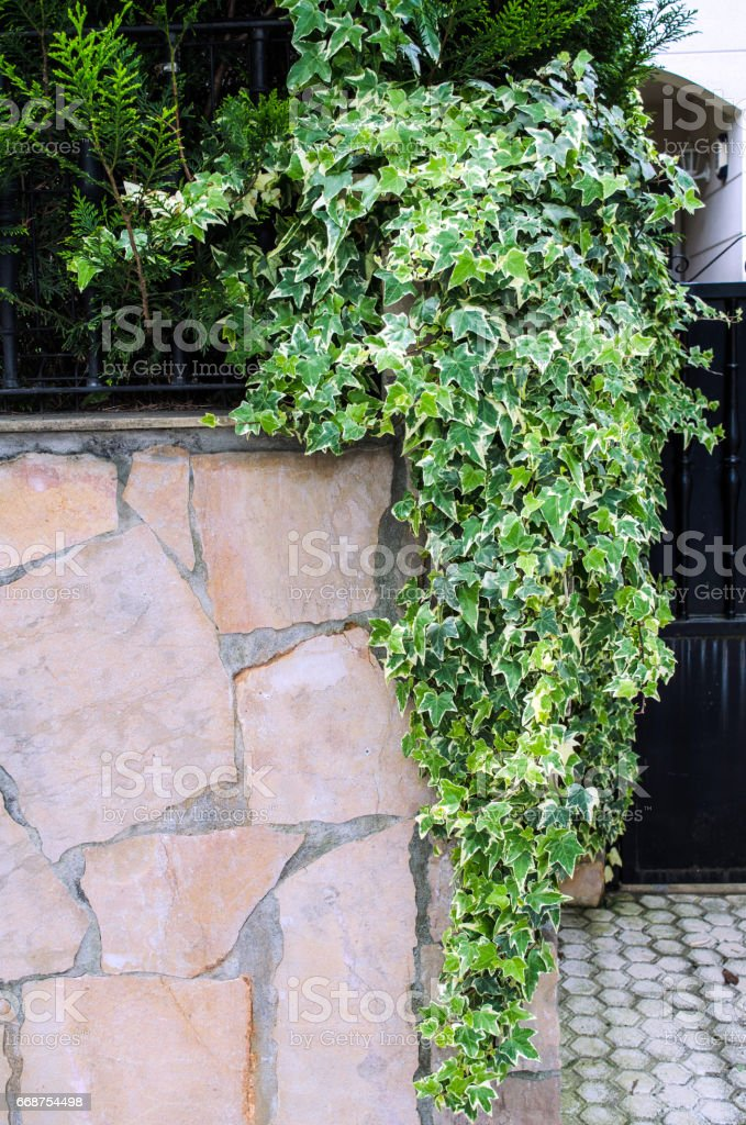 Wall and ivy stock photo