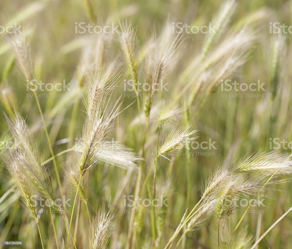 Wall Barley (Hordeum murinum) waving in the wind stock photo