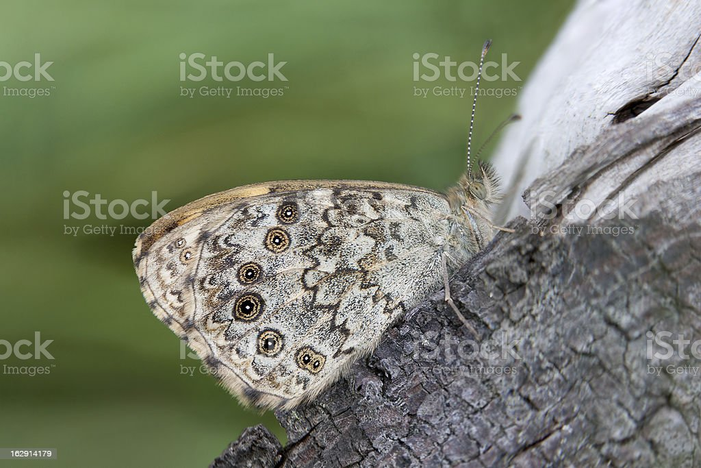 Wall Brown butterfly (Lasiommata megera) stock photo