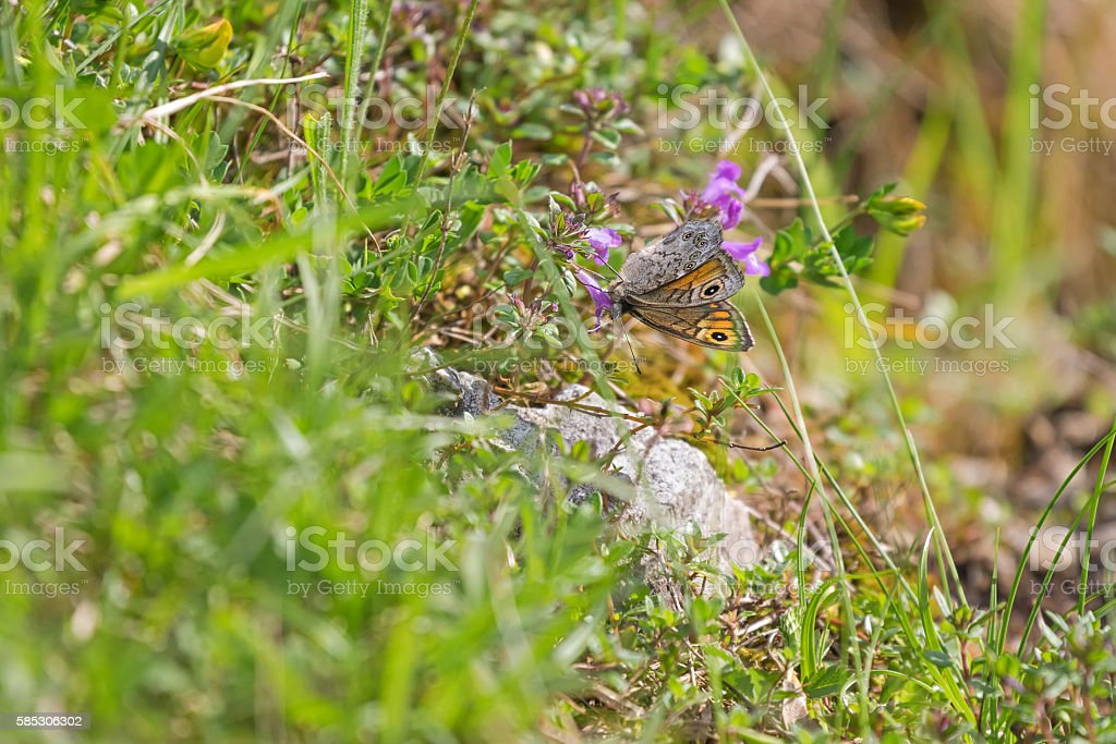 Wall Brown butterfly with dots feeding on flowers in summer stock photo