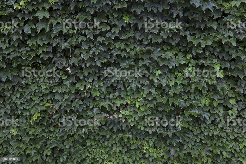 Wall Covered with Ivy stock photo