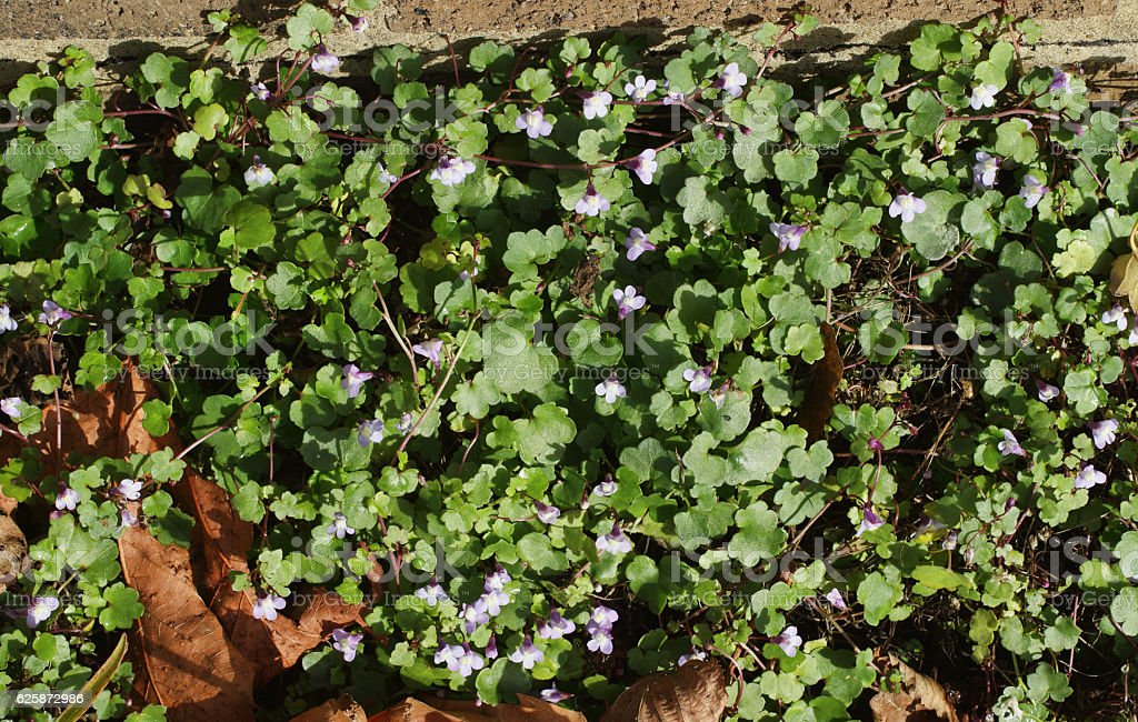 Wall flowers ivy-leaved toadflax Cymbalaria muralis stock photo