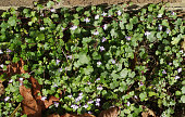 Wall flowers ivy-leaved toadflax Cymbalaria muralis