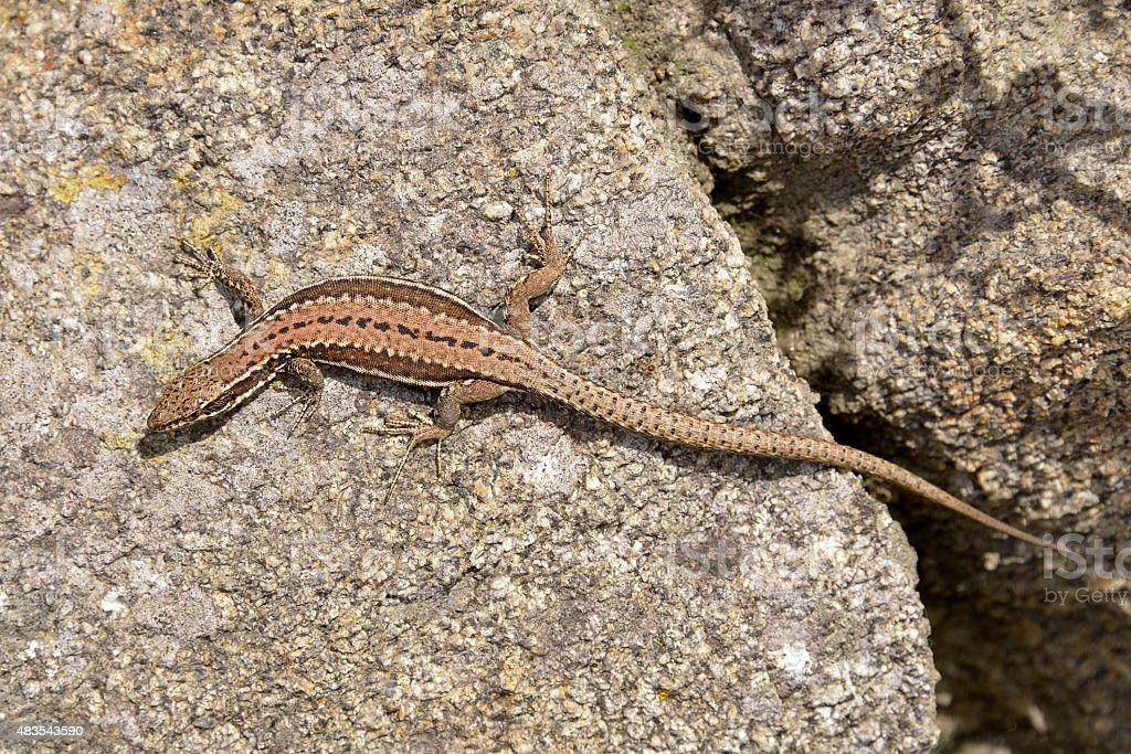 Wall lizard stock photo