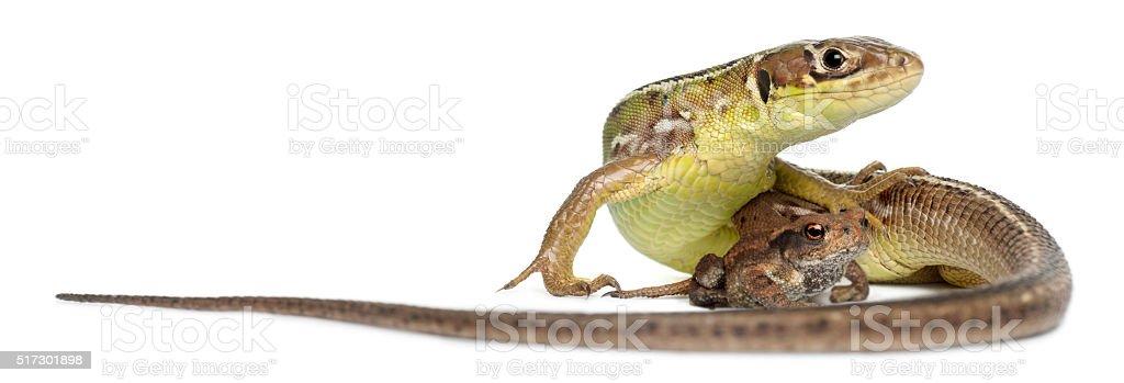 Wall lizard, Podarcis muralis, and young Common toad, bufo bufo, stock photo
