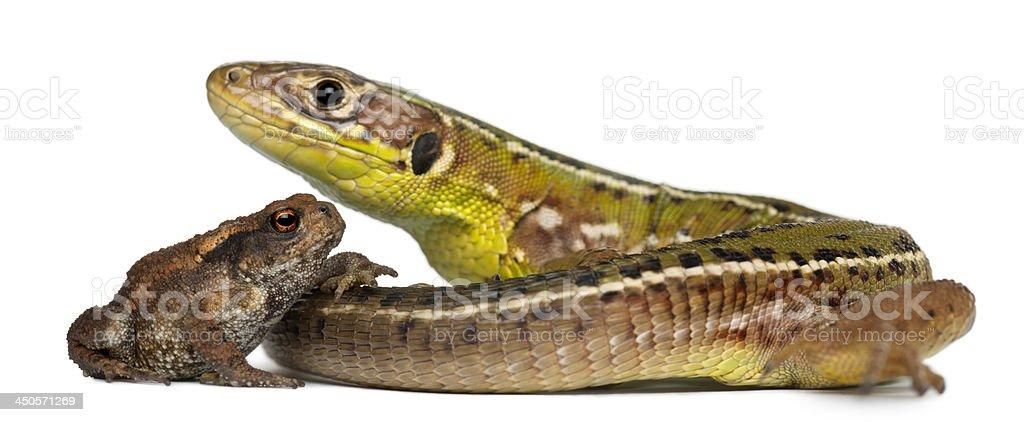 Wall lizard, Podarcis muralis, and young Common toad, bufo stock photo